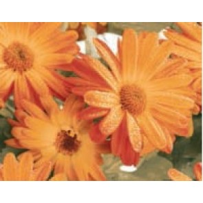 Декор Colours BLANCO D.MARIGOLD 40x50 (комплект из 2 шт.)